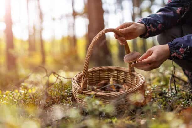Mushroom foraging in the woods