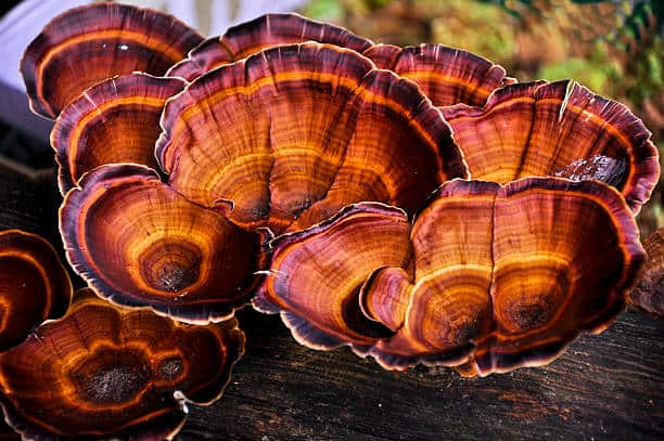 reishi mushroom health benefits up close