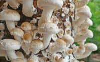 Growing Shiitake Mushrooms in Bags